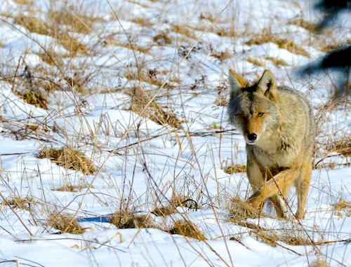 Calgary to Fernie - coyote